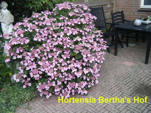 planten en verplanten hortensia bertha 39 s hof. Black Bedroom Furniture Sets. Home Design Ideas