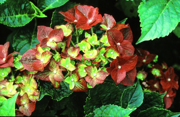 3.hydrangea-macrophylla-green-shadow